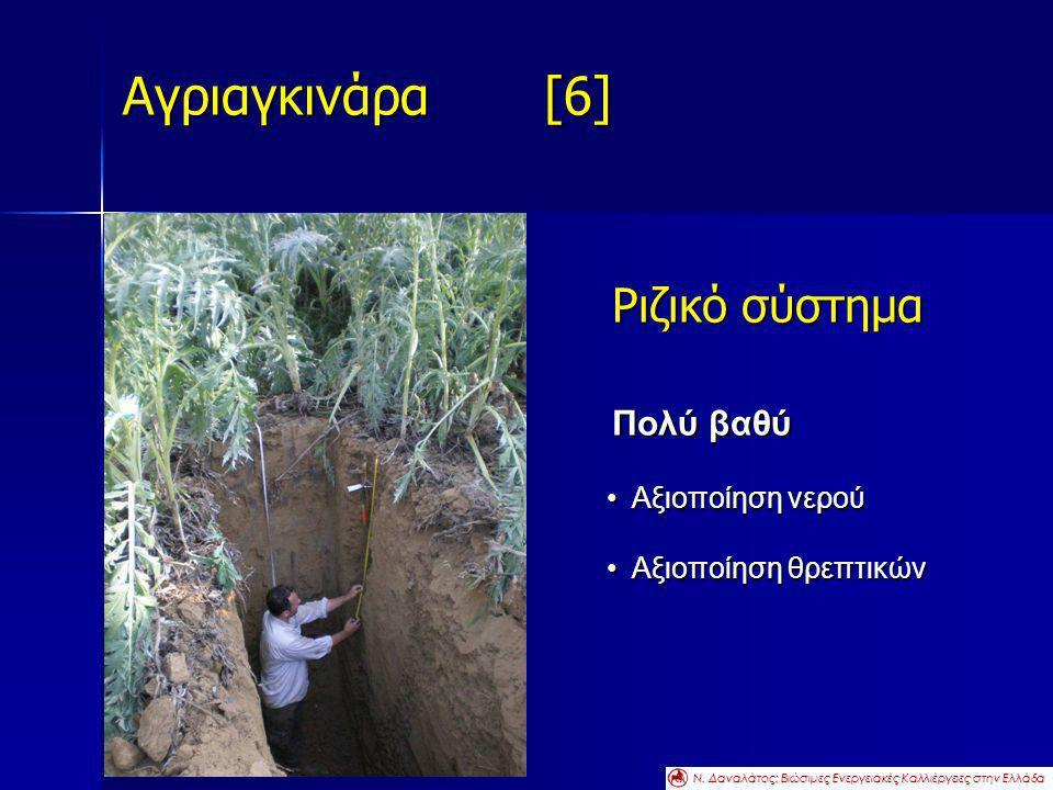 Αγριαγκινάρα [6] Ριζικό σύστημα Πολύ βαθύ Αξιοποίηση νερού